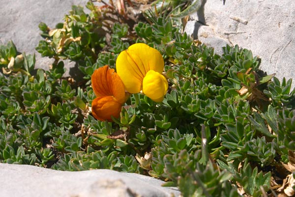 Fleur lotier des alpes lotus alpinus - Fleurs de montagne alpes ...