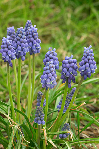 Muscari en grappe, Muscari neglectum, Cergy(95), 21 mars 2004